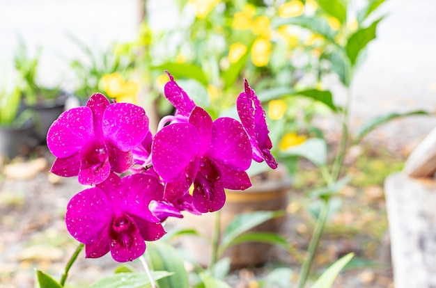 Beautiful pink orchid flowers in the garden.