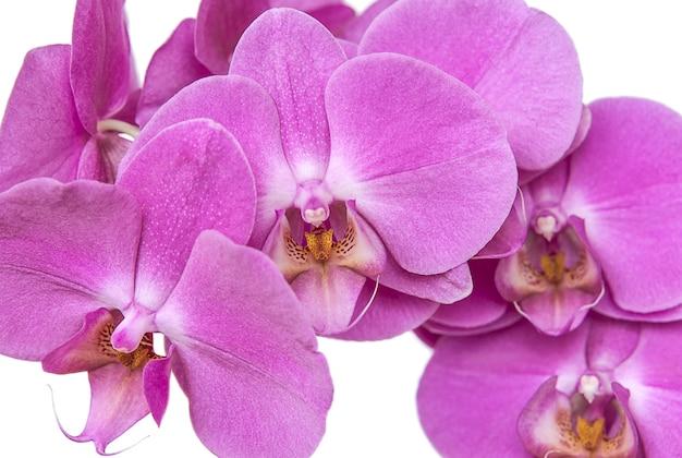 美しいピンクの蘭の花