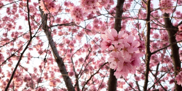Beautiful pink peach tree blossom