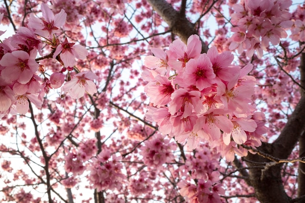 Красивое розовое персиковое дерево