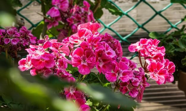 Красивые розовые цветы пеларгонии в горшке.