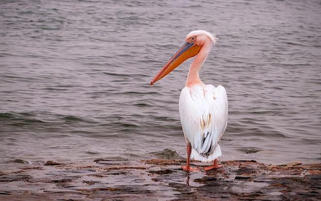Красивая розовая птица пеликан. съемка дикой природы в намибии. пеликан с фоном океана море. дикое животное в природе. крупным планом природы
