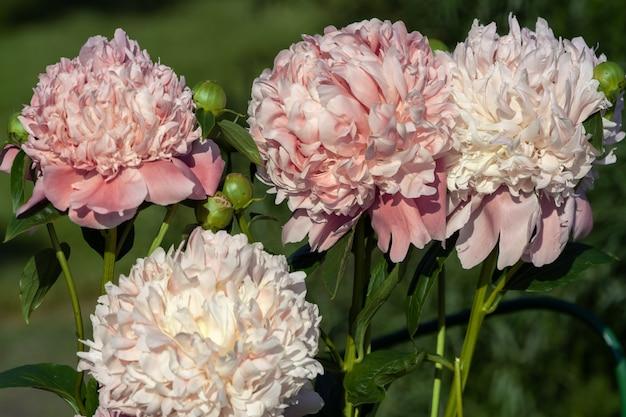 Красивые розовые цветы пионов в саду на фоне сельской местности.