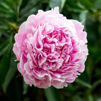 Beautiful pink peonies in the green garden