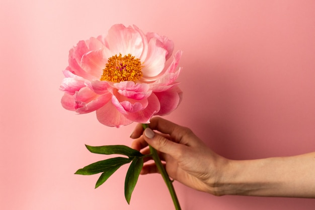 Beautiful pink peony flower in female hand on pastel pink surface