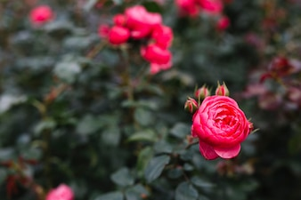 Beautiful pink peony flower in garden