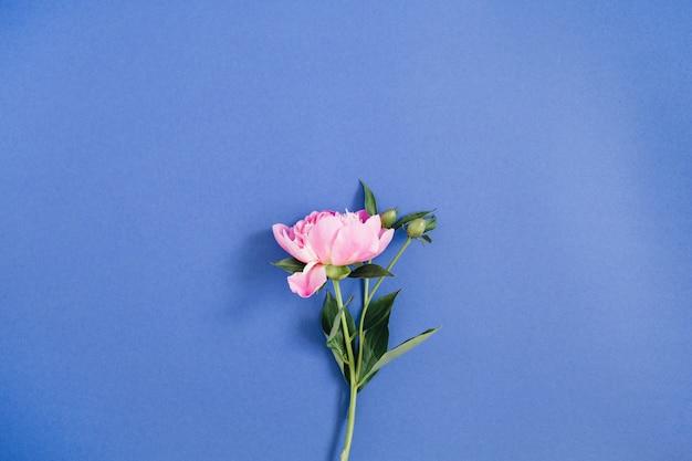 濃い青の背景に美しいピンクの牡丹の花。平置き