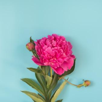 Beautiful pink peony flower on punchy pastel blue.