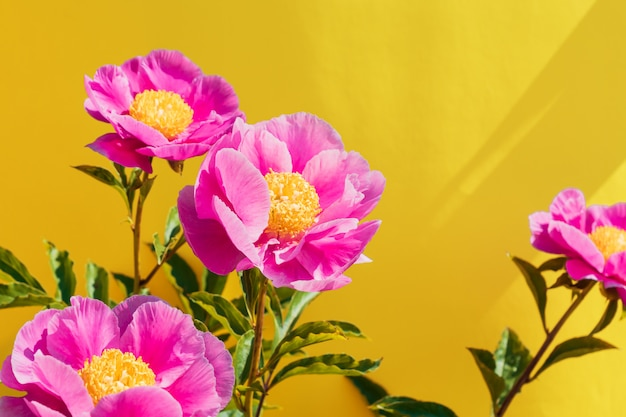 Beautiful pink peony flowers on trendy yellow background. in full bloom concept
