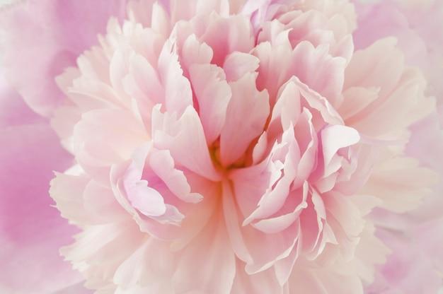 Красивый розовый пион макрос