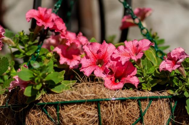 美しいピンクのペチュニアの花が鉢植えに育ちます
