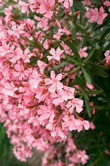 Красивые розовые цветы флокса на зеленом кусте крупным планом