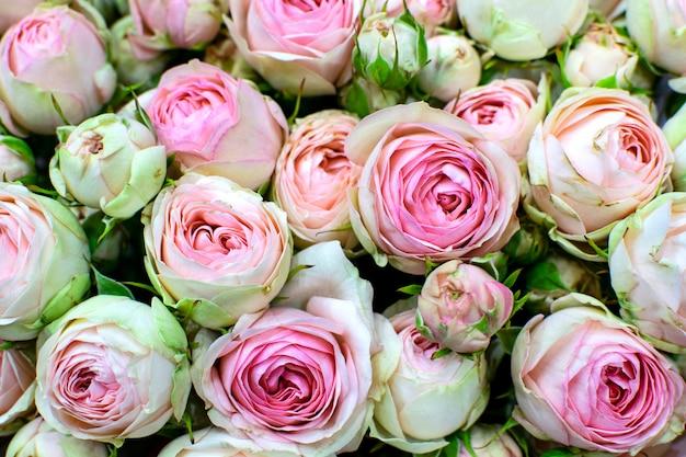 Красивая розовая пионовидная роза