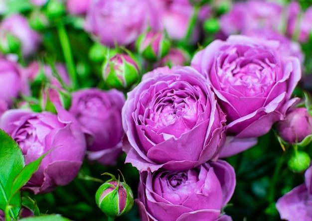 Красивые розовые пионовидные розы