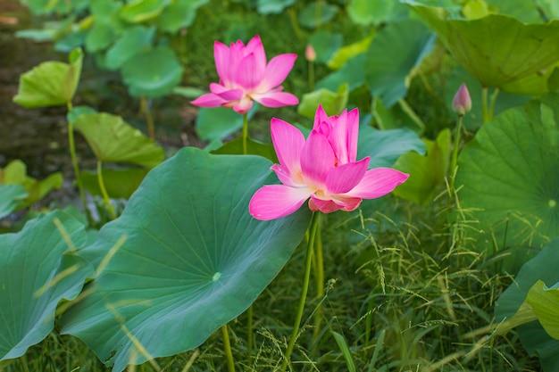 호수에 있는 아름다운 분홍색 꽃가루 연꽃, 순수한 분홍색 연꽃 녹색 잎.
