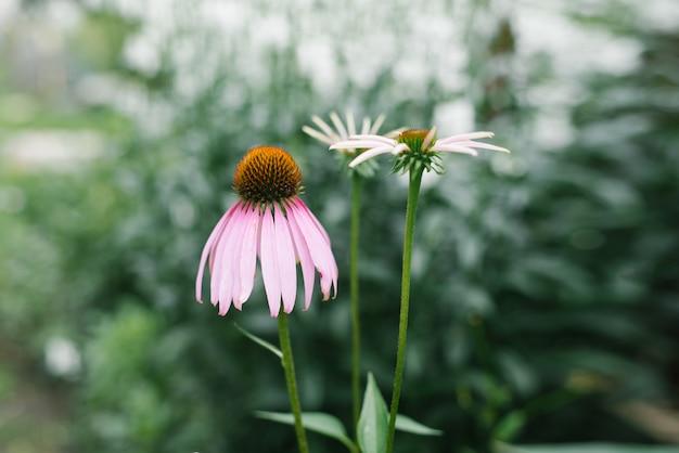 Beautiful pink-purple flower echinacea blooms in the garden in summer