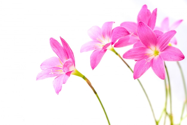 白い背景上に分離されて美しいピンクの雨ユリの花