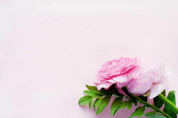Красивый розовый цветок лютик