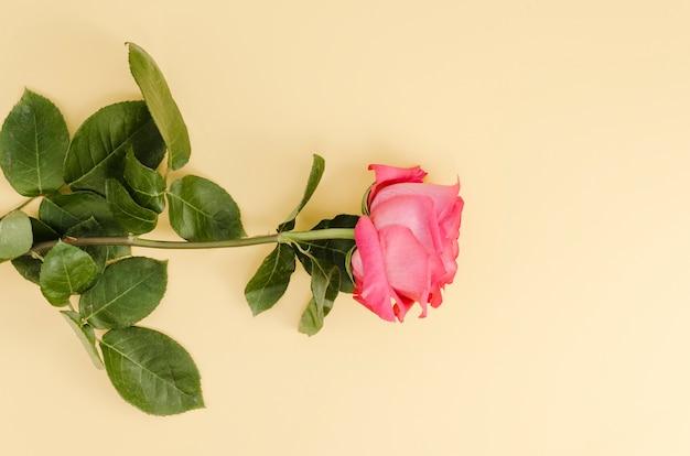Beautiful pink rose in flat lay