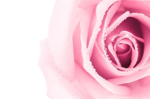 Красивый розовый цветок розы