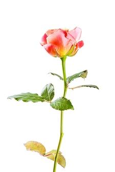 흰색 배경에 고립 된 아름 다운 핑크 장미 꽃