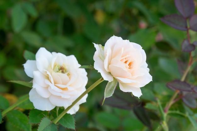 정원에서 아름 다운 핑크 로즈