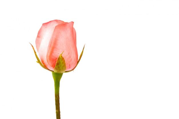 아름 다운 핑크 로즈 흰색 배경에 고립