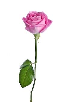 明るい背景に美しいピンクのバラ