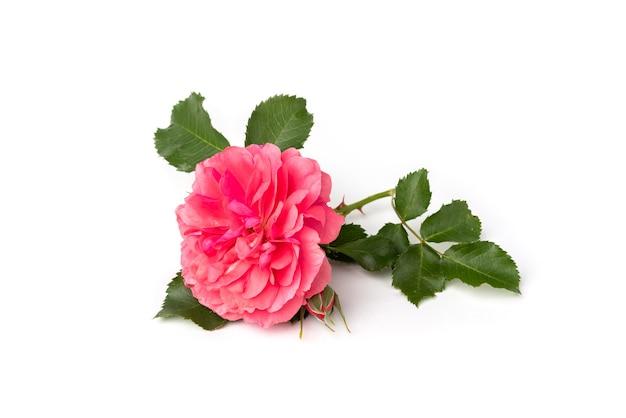 白い背景の上の美しいピンクのバラ