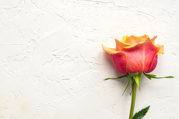 Beautiful pink rose on white concrete background. floral composition, top view, flat lay