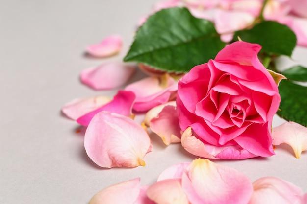 Красивая розовая роза с лепестками на светлой поверхности