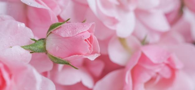 Красивая розовая роза с каплями воды может быть использована в качестве фона в романтическом стиле с мягким фокусом