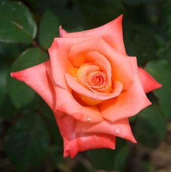 Красивая розовая роза с каплями воды