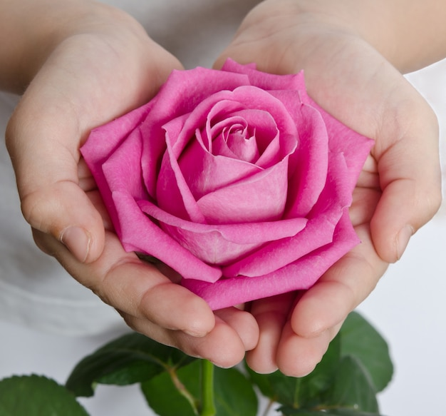 Beautiful pink rosebud in hands