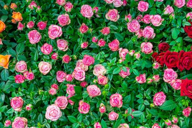 아름 다운 핑크 장미입니다. 꽃 축제 자연 배경입니다.
