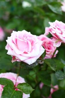 庭の美しいピンクのバラ。