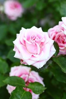 Красивые розовые розы в саду.