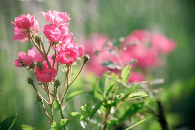 Красивые розовые розы весной в саду
