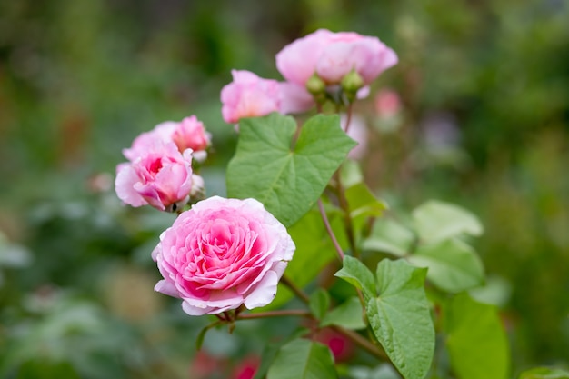 Красивые розовые розы в летнем саду