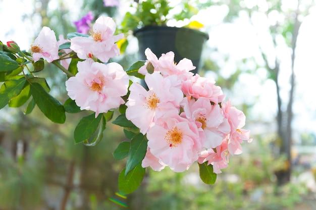 정원에서 아름 다운 핑크 장미