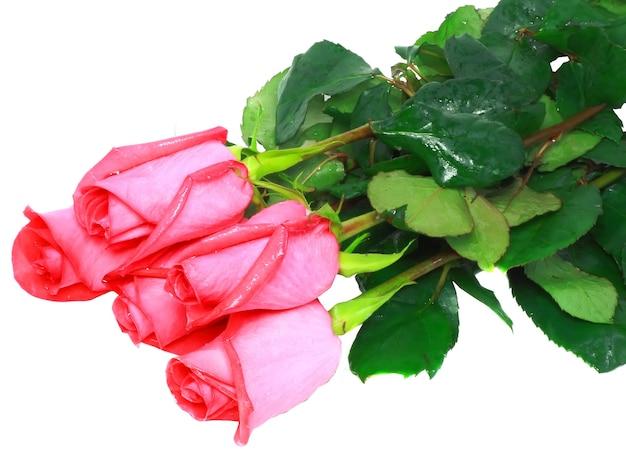 아름 다운 핑크 장미 흰색 배경에 고립입니다.