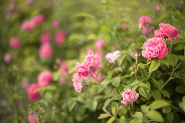 Красивые розовые розы.