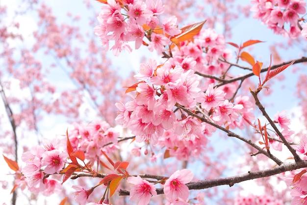 Beautiful pink sakura flower, wild himalayan cherry blossoms in spring season