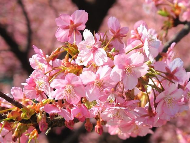Красивая розовая сакура в полном расцвете