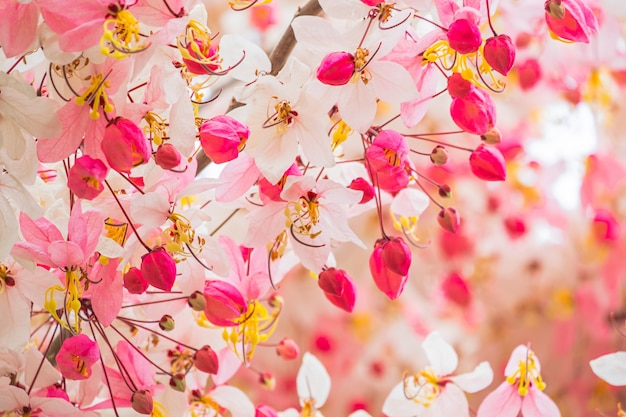 Beautiful pink shower flower blooming on branch wishing tree