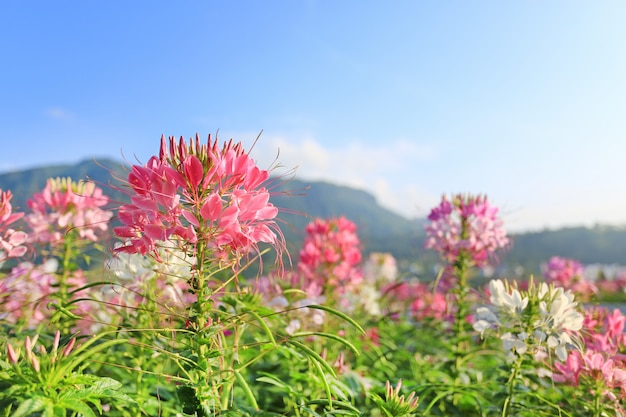 Beautiful pink and spider flower(cleome spinosa) in the summer garden with mountain and blue sky.