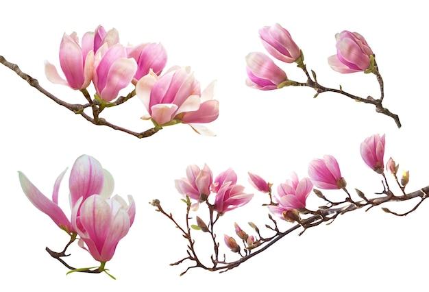 흰색 배경에 고립 된 나뭇 가지에 아름 다운 핑크 봄 목련 꽃