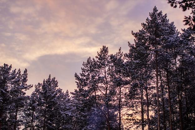 Красивый розовый закат в небе над лесом зимой. фото высокого качества