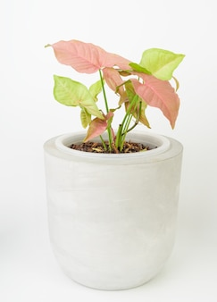Beautiful pink syngonium in concrete pot on white background