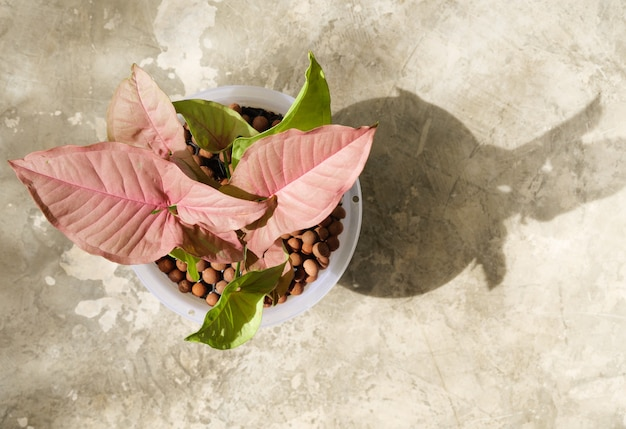 Beautiful pink syngonium house plants in white  pot over  cement floor background,top view with long shadow
